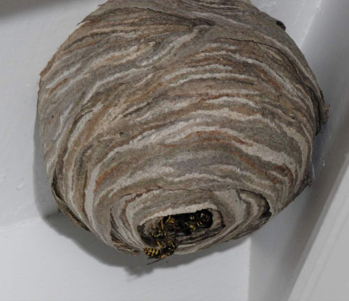 Wasp nest removal hampshire